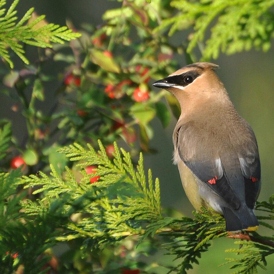 cedar-waxwing-huckleberries-by-carl-olsen