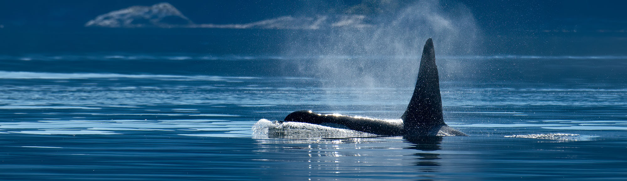 Northern resident orca whales (Orcinus orca), near Campbell River, Vancouver Island, BC Canada